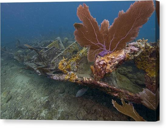 Fan Coral On Elbow Reef In Key Largo Canvas Print by Bob Hahn