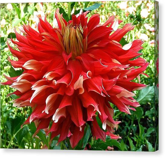 Fancy Red Dahlia Canvas Print