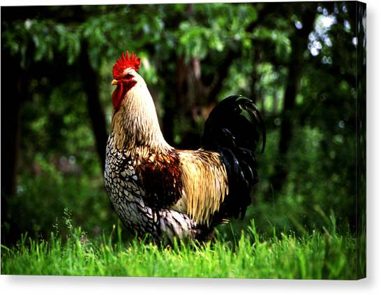Fancy Rooster Canvas Print by Roger Soule