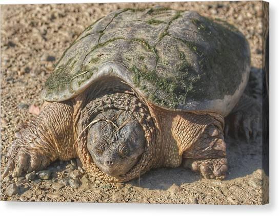 1013 - Fargo Road Turtle Canvas Print