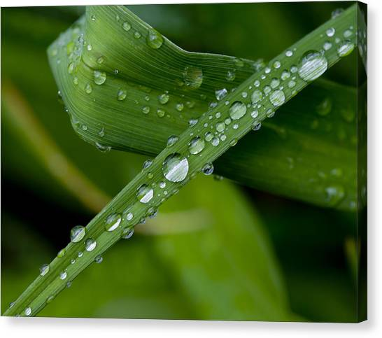 Fat Raindrops Canvas Print by Robert Ullmann