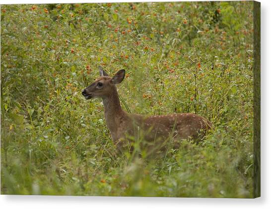 Fawn In A Field Of Flowers Canvas Print by Tina B Hamilton
