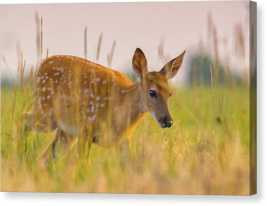 Canvas Print featuring the photograph Fawn In Grasslands by John De Bord