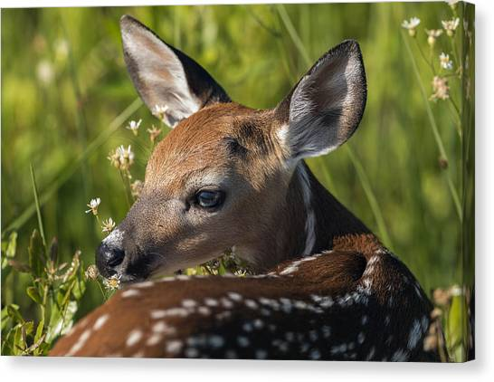 Fawn Over The Shoulder Canvas Print