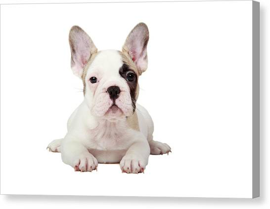 Pets Canvas Print - Fawn Pied French Bulldog Puppy by Mlorenzphotography