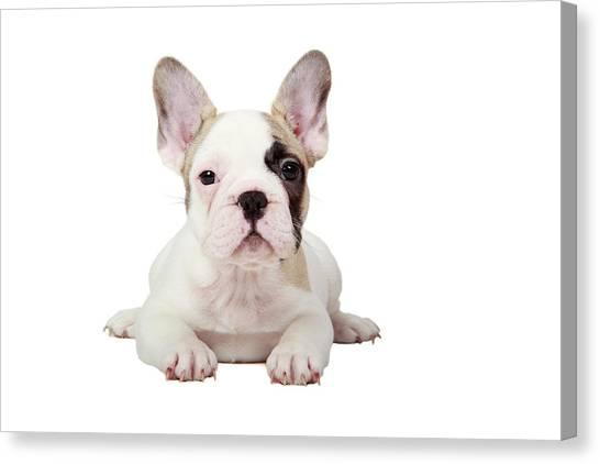 Bulldog Canvas Print - Fawn Pied French Bulldog Puppy by Mlorenzphotography