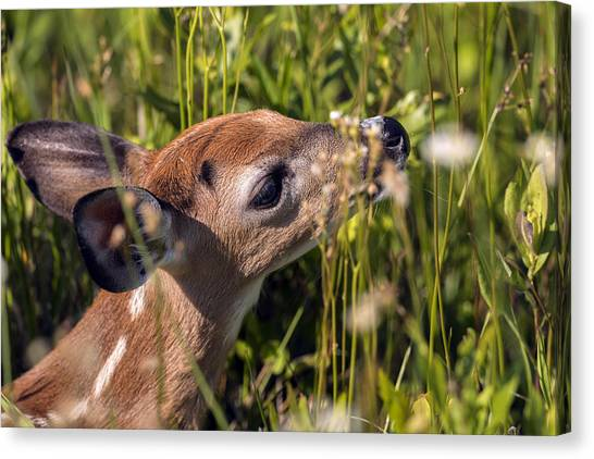 Fawn Smelling The Wildflowers Canvas Print