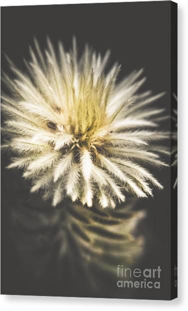 Flannel Canvas Print - Feather-head Flannel Bush Flower by Jorgo Photography - Wall Art Gallery