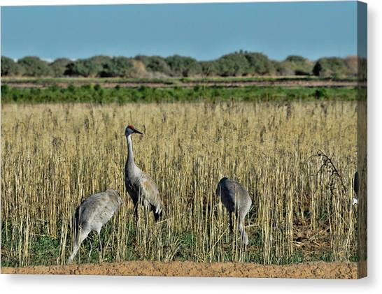 Feeding Greater Sandhill Cranes Canvas Print