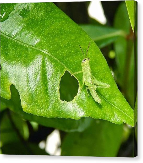 Grasshoppers Canvas Print - Feeling Green??? This Little Guy Sure by Nicole Townsend