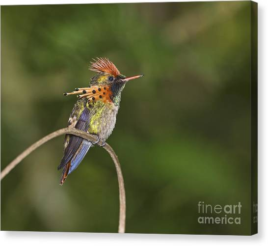 Feisty Little Fellow..  Canvas Print