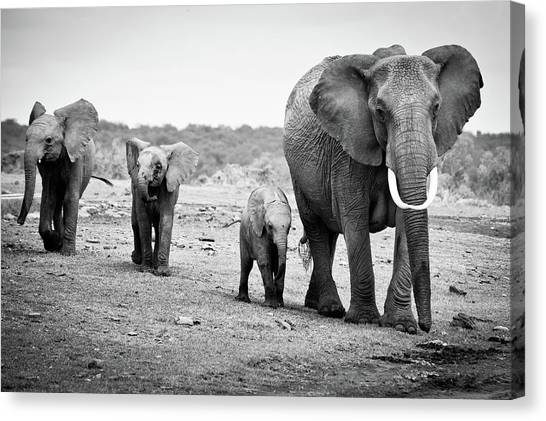 Elephants Canvas Print - Female African Elephant by Cedric Favero