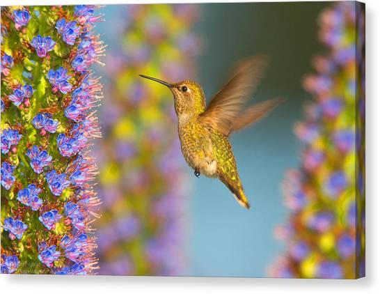 Female Anna's Hummingbird Huntington Beach California Canvas Print