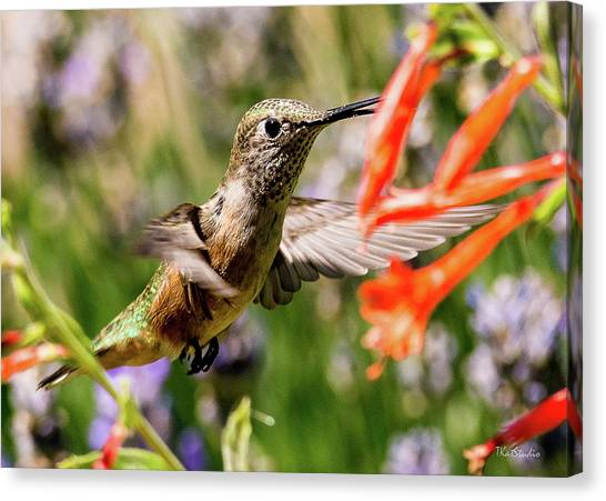 Female Broadtail Humingbird Canvas Print