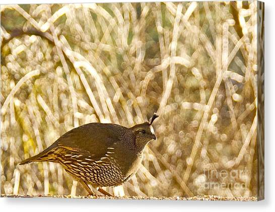 Female California Quail Canvas Print