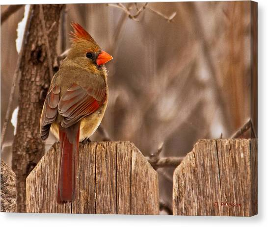 Female Cardinal On The Fence Canvas Print