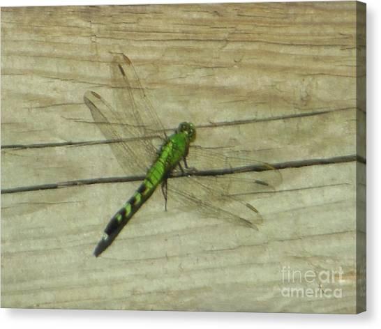 Female Eastern Pondhawk Dragonfly Canvas Print