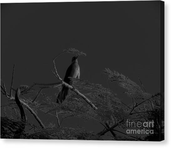 Female Grackle Canvas Print