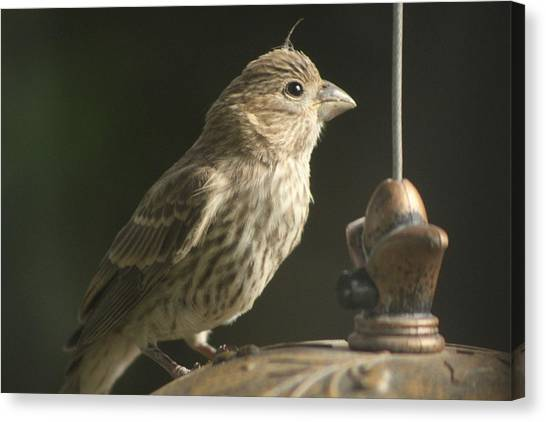 Female House Finch On Feeder Canvas Print