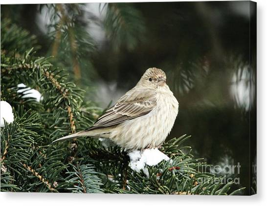 Female House Finch On Snow Canvas Print