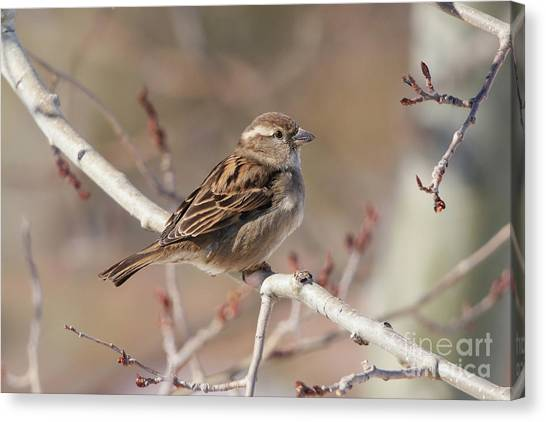 Female House Sparrow Canvas Print