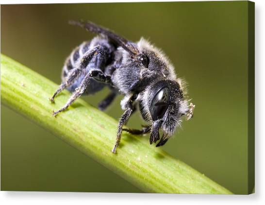 Female Megachilid Bee Canvas Print by Andre Goncalves