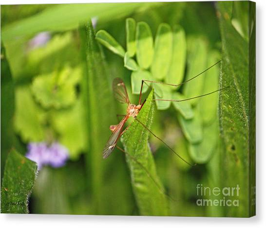 Female Mosquito Canvas Print