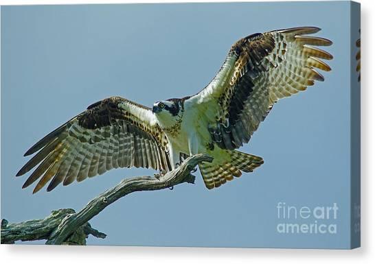 Female Osprey Canvas Print