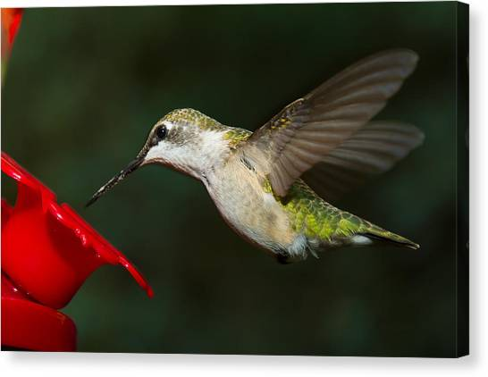 Canvas Print featuring the photograph Female Ruby-troated Hummingbird by Robert L Jackson
