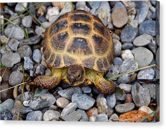 Female Russian Tortoise Canvas Print