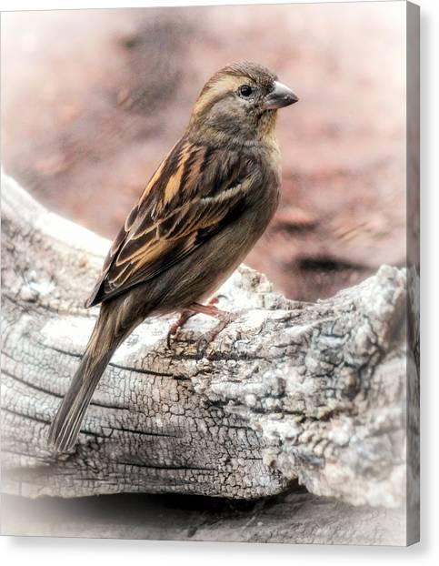 Canvas Print featuring the photograph Female Sparrow by Elaine Malott