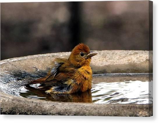 Female Summer Tanager In Bird Bath Canvas Print