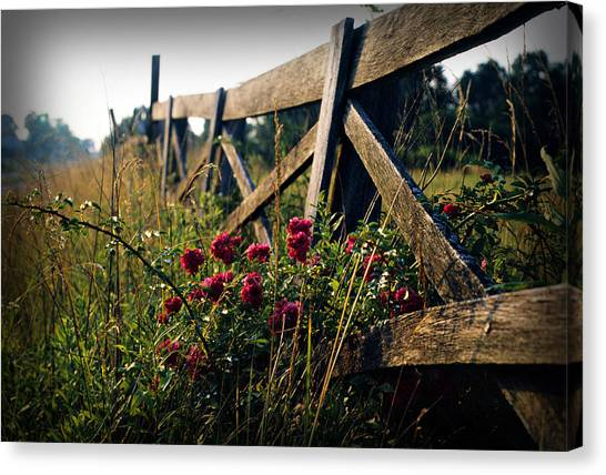 Fence And Roses Canvas Print by Dave Chafin