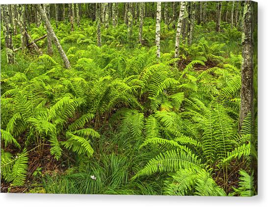 Ferns And Birch In Soft Light Canvas Print