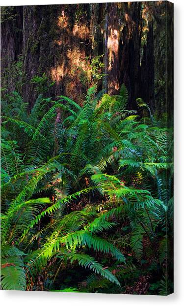 Redwood Forest Canvas Print - Ferns Growing Beside Redwood Trees by Panoramic Images