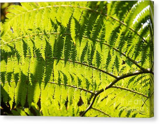 Ferns In Sunlight Canvas Print