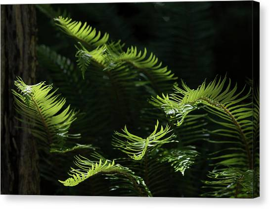 Ferns In The Forest Canvas Print