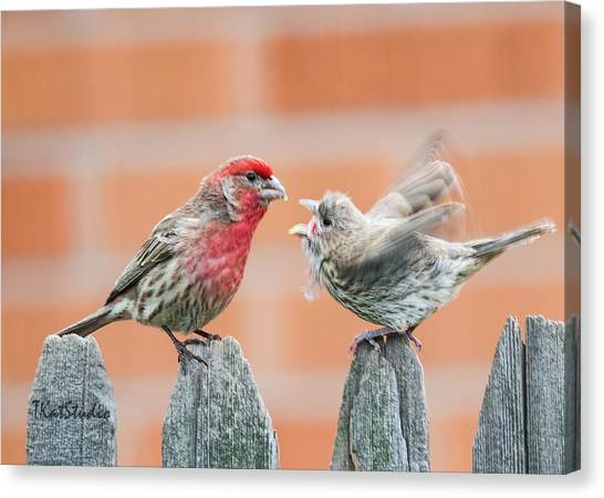 Feuding Finches Canvas Print
