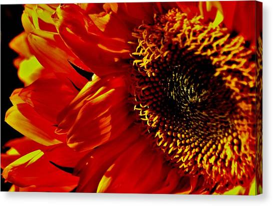 Fickle Sunflower Canvas Print