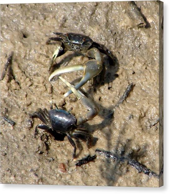 Fiddler Crabs Fighting 1 Canvas Print