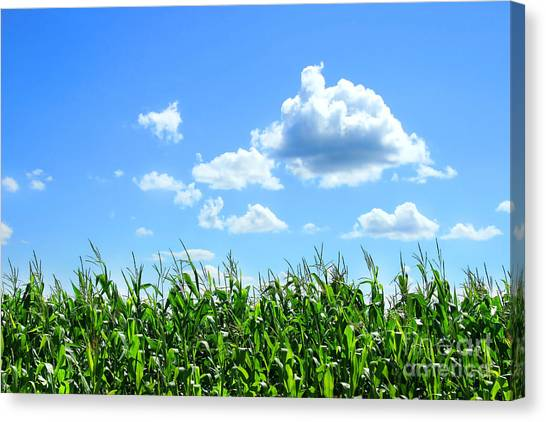 Clouds Canvas Print - Field Of Corn In August by Sandra Cunningham