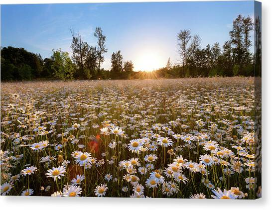 Field Of Daisies Canvas Print