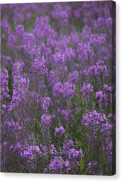 Field Of Fireweed Canvas Print