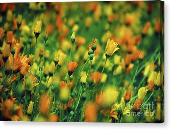 Field Of Orange And Yellow Daisies Canvas Print
