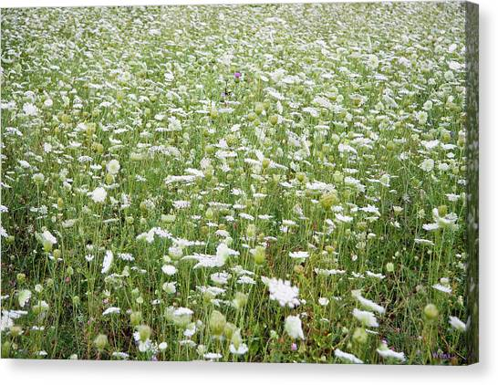 Field Of Queen Annes Lace Canvas Print