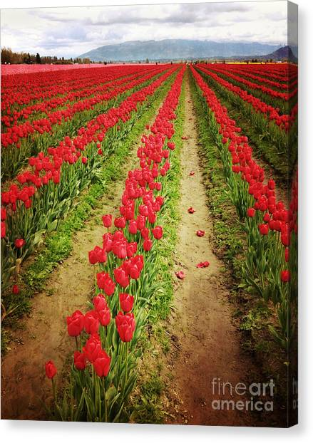 Field Of Red Tulips With Drama Canvas Print