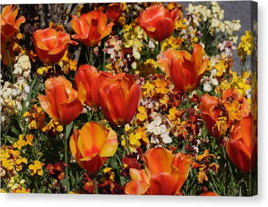 Field Of Tulips Canvas Print by Pierre Leclerc Photography