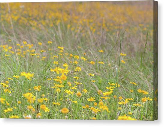 Field Of Yellow Flowers In A Sunny Spring Day Canvas Print