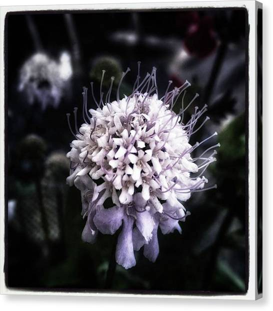 Canvas Print featuring the photograph Field Scabious. A Member Of The by Mr Photojimsf