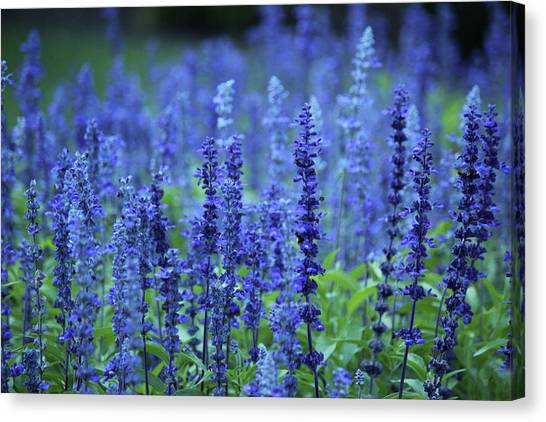 Fields Of Blue Canvas Print